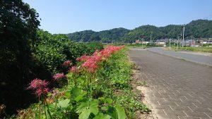 大江駅近くの道路に毎年赤いラインができます。