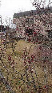 梅の花のつぼみも