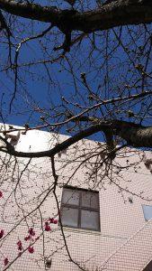 桜のつぼみも少しづつ膨らんできました。